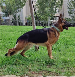 כלבים רועה גרמני ים המלח והבקעה