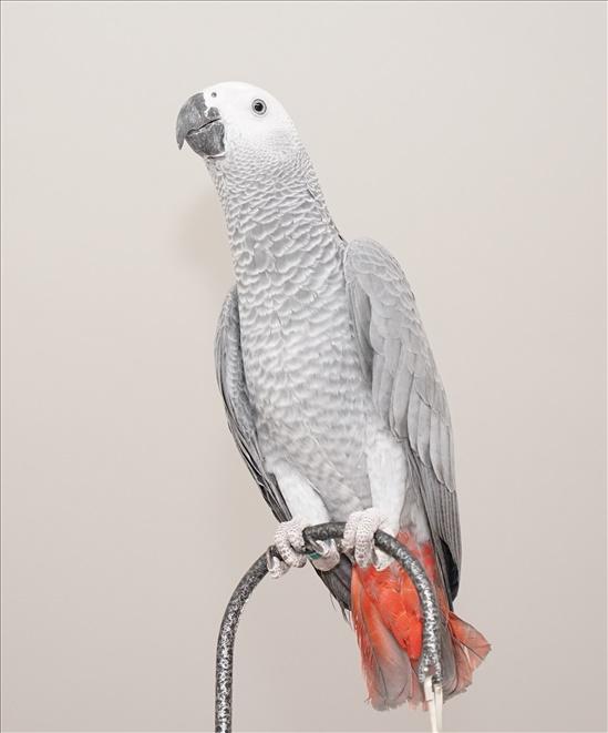 זכר תוכים ובעלי כנף - ז`אקו