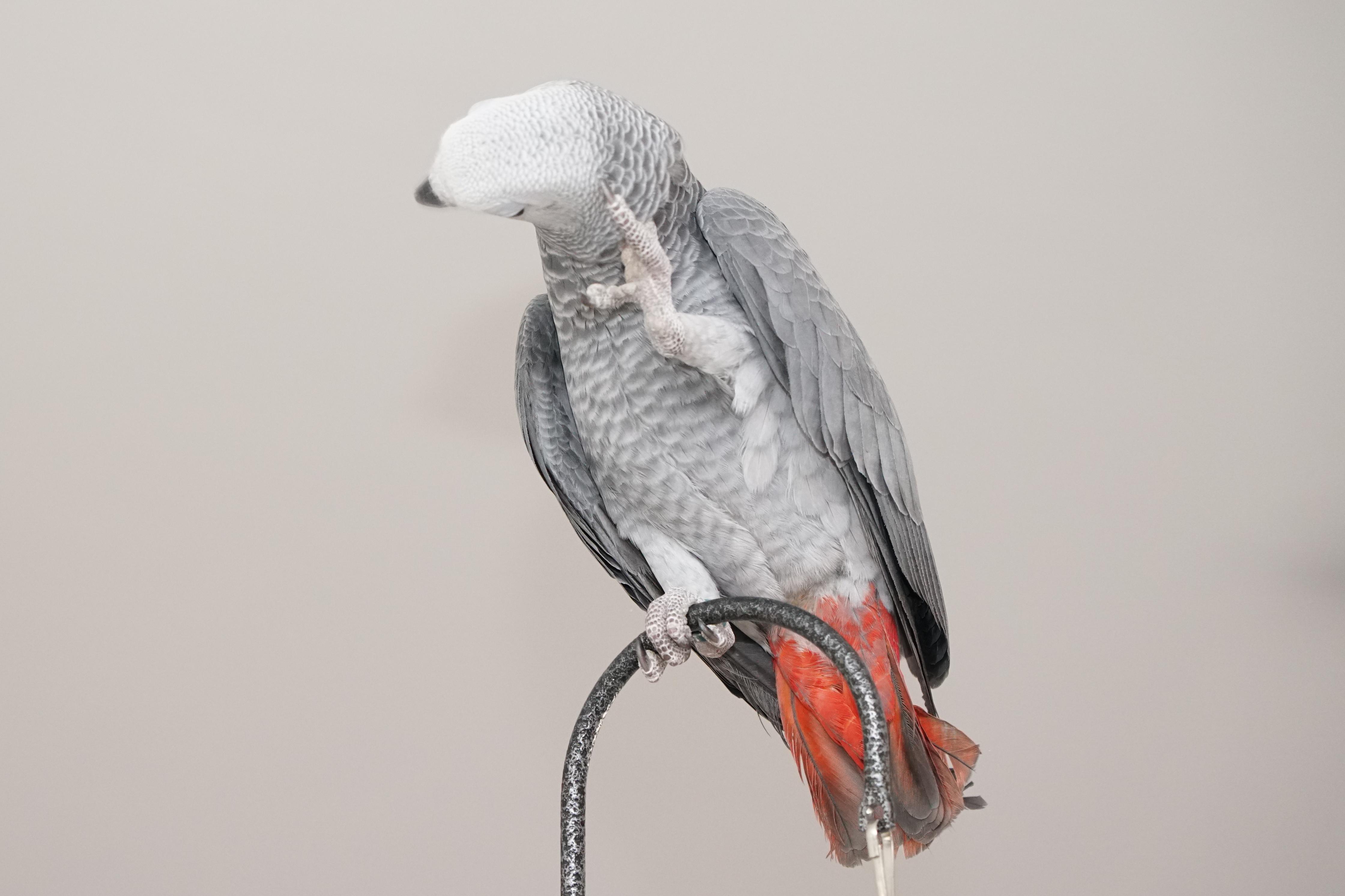 תמונה 3 ,תוכים ובעלי כנף ז`אקו   זכר למכירה באשדוד