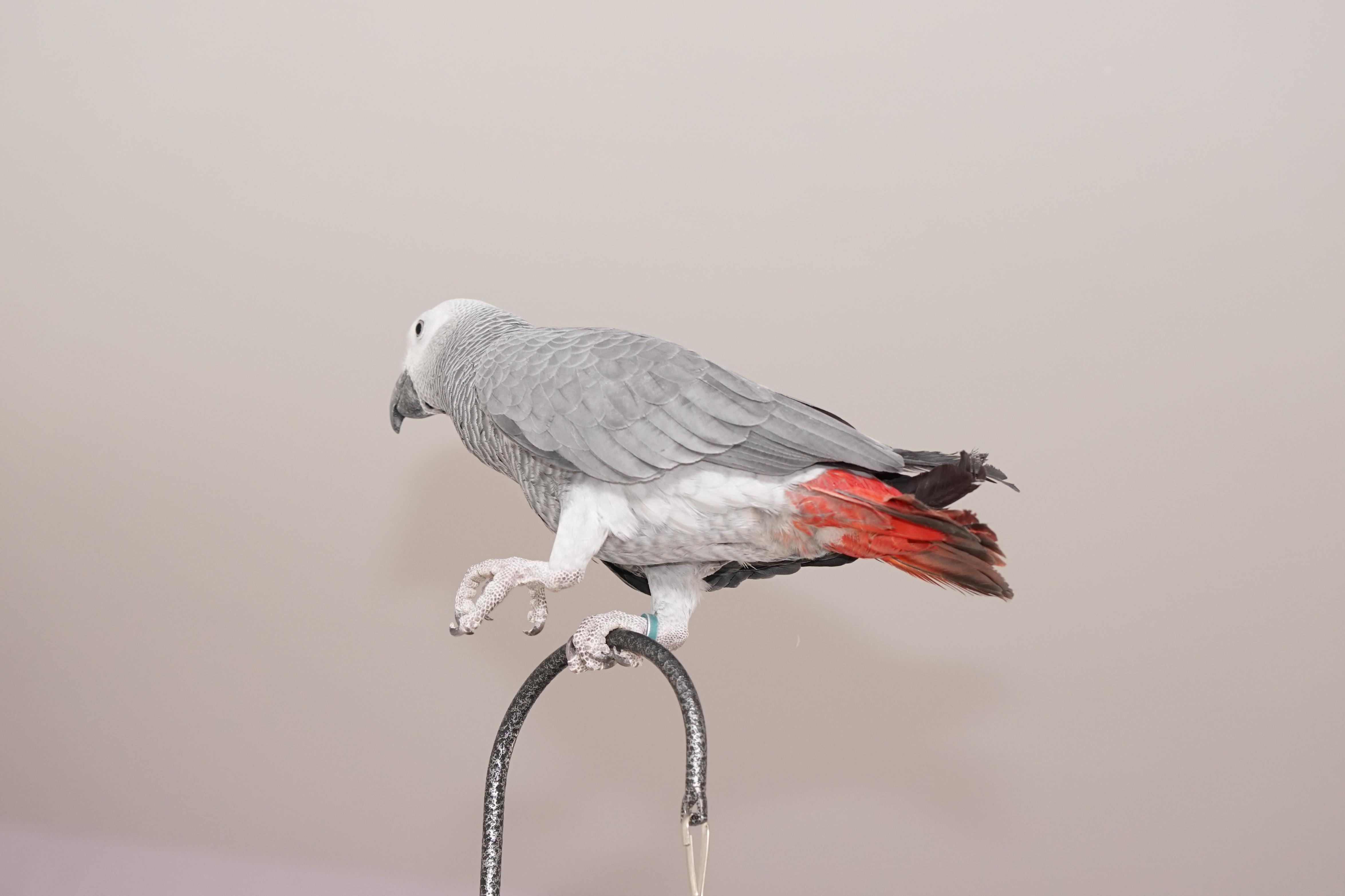 תמונה 4 ,תוכים ובעלי כנף ז`אקו   זכר למכירה באשדוד