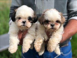 כלבים שי צו