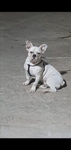 כלבים בולדוג צרפתי