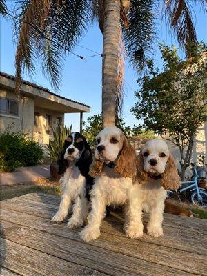 כלבים קוקר ספנייל