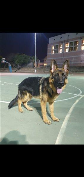 כלבים רועה גרמני חיפה והקריות