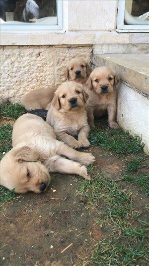 כלבים גולדן רטריבר ים המלח והבקעה