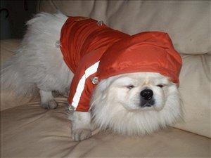 כלבים פקינז