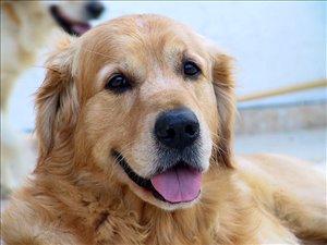 כלבים גולדן רטריבר