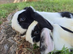 מכרסמים - ארנב שמוט אוזניים
