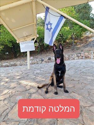 כלבים רועה בלגי אשדוד והסביבה