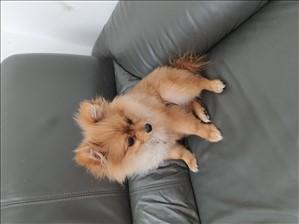 כלבים פומרניאן ים המלח והבקעה