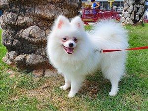 כלבים פומרניאן אשדוד והסביבה