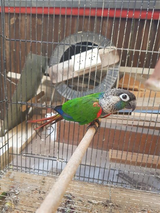 פרלי קוניור תוכים ובעלי כנף - קוניורים