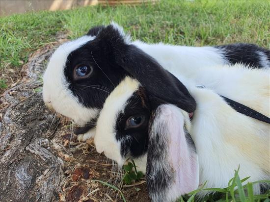 באגס באני מכרסמים - ארנב שמוט אוזניים