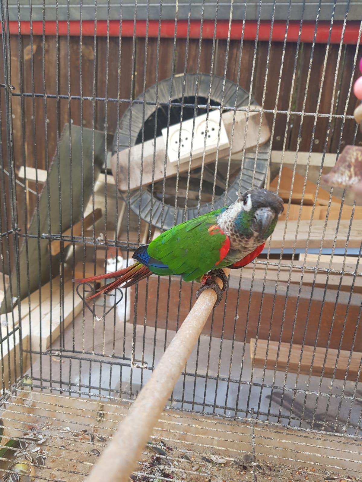 תמונה 2 ,תוכים ובעלי כנף קוניורים   פרלי קוניור למכירה בבאר שבע