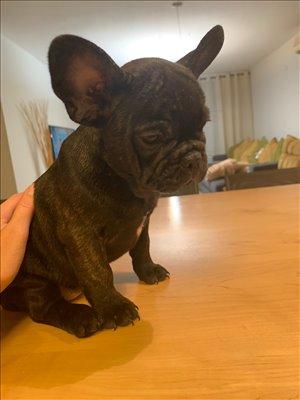 כלבים בולדוג צרפתי חיפה והקריות