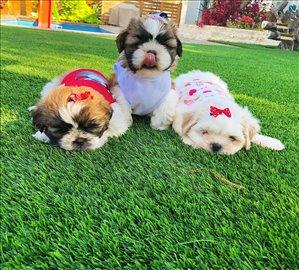 כלבים שי צו ים המלח והבקעה