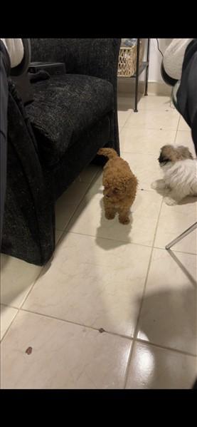 כלבים פודל