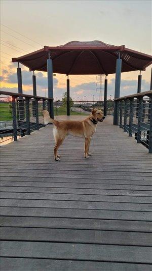 כלבים גולדן רטריבר חדרה והסביבה