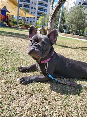 כלבים בולדוג צרפתי אשדוד והסביבה