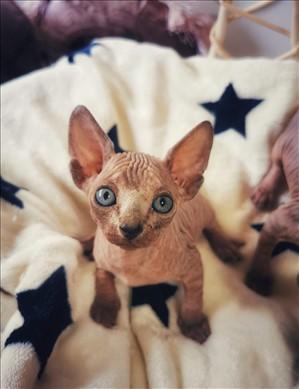 חתולים ספינקס