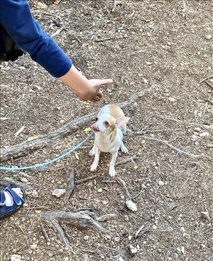 כלבים צ`יוואווה אשדוד והסביבה