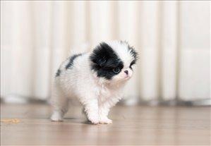 כלבים צ`ין יפני חיפה והקריות