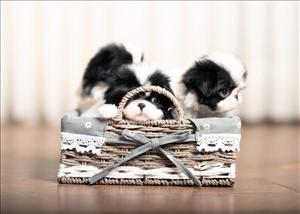 כלבים - צ`ין יפני