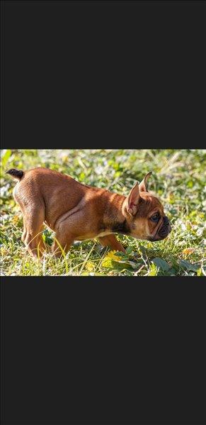 כלבים בולדוג צרפתי מודיעין והסביבה