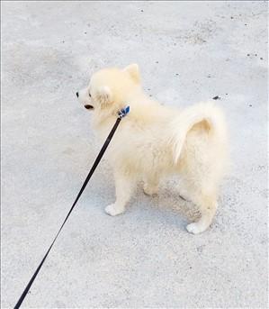 כלבים שפיץ מעורב
