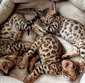 חתולים בנגלי