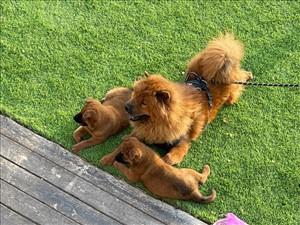 כלבים צ`או צ`או