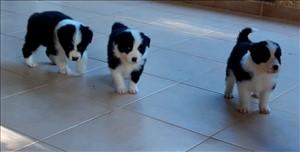 כלבים בורדר קולי טבריה והצפון