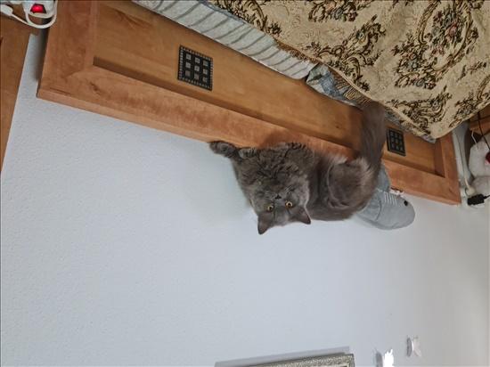 זאוס חתולים - בריטי קצר שיער