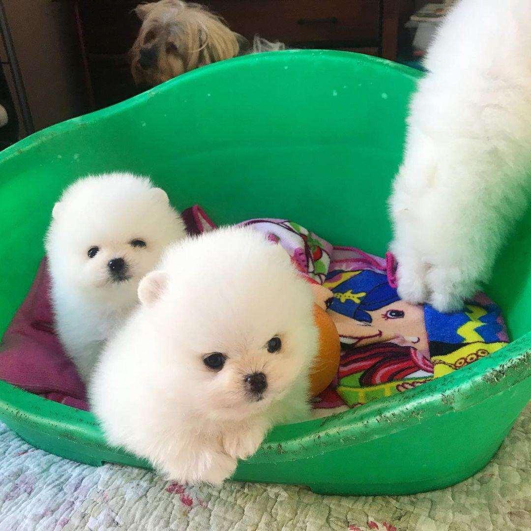 אחרים כללי Pomeranian