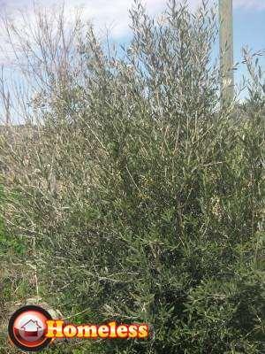 מקורי עצי זית עתיקים למכירה | לגינה יד שניה | לוח יד שניה הומלס LC-11