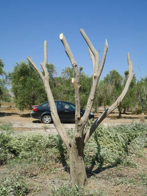 מודיעין עצי זית עתיקים למכירה | לגינה יד שניה | לוח יד שניה הומלס BV-35