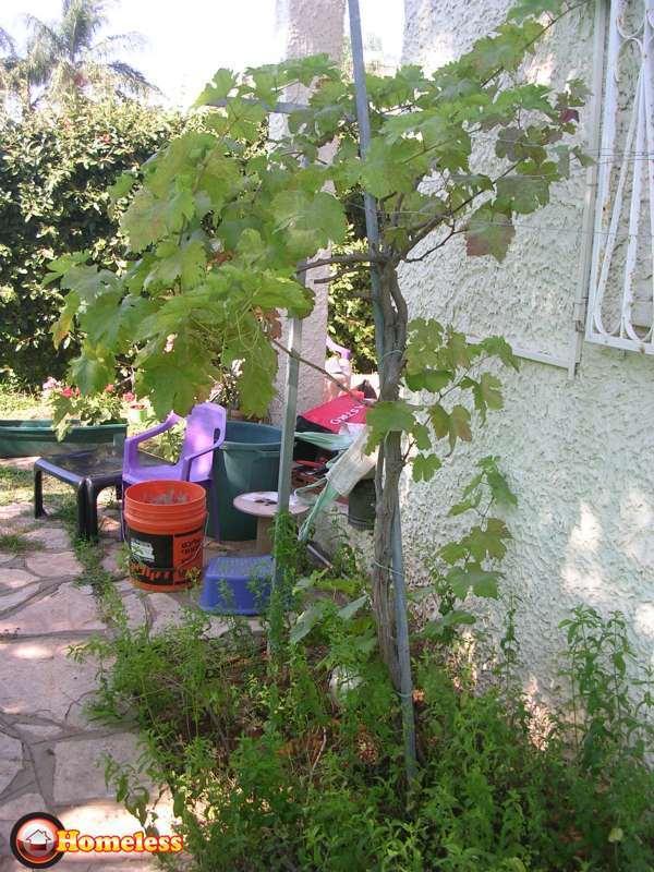 הגדול 2 עצי גפן שנשתלו לפני שנה למכירה ברמת השרון 440 שח | לגינה - עצים FJ-64