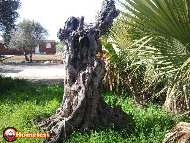 לגינה - עצי זית עתיקים
