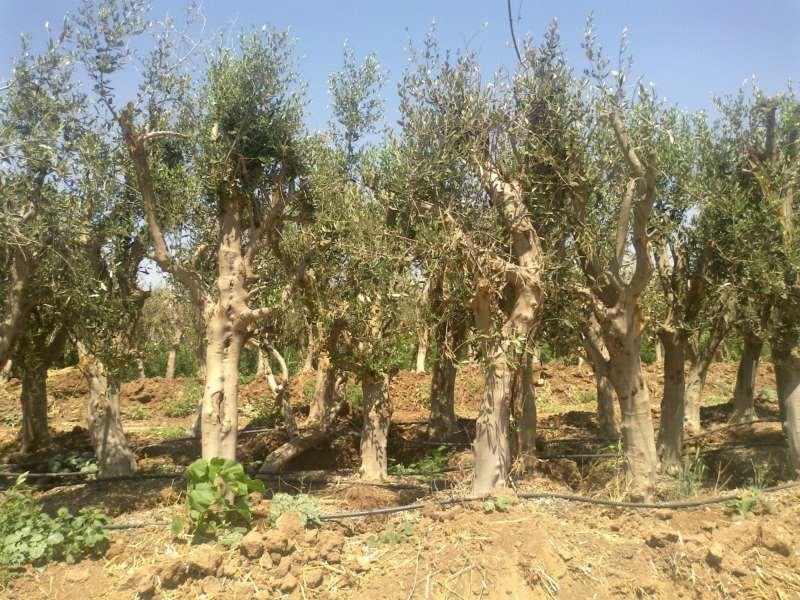 מיוחדים עצי זית עתיקים למכירה | לגינה יד שניה | לוח יד שניה הומלס EN-56