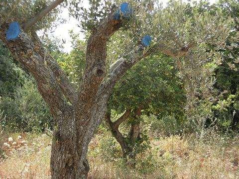 משהו רציני עצי זית עתיקים למכירה | לגינה יד שניה | לוח יד שניה הומלס GN-79