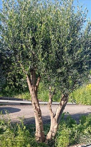 לגינה עצי זית עתיקים 6