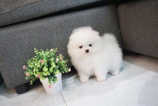 pomeranian puppy for adoption